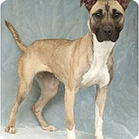 Adopt A Pet :: Sugar - Chicago, IL