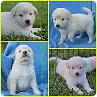 Adopt A Pet :: Monroe - Plano, TX