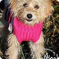 Adopt A Pet :: Pixie - Albany, NY