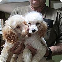 Adopt A Pet :: Poodles - batlett, IL
