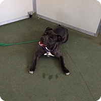 American Staffordshire Terrier Mix Dog for adoption in Newfield, New Jersey - Mandi