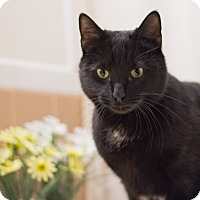Domestic Shorthair Cat for adoption in Staten Island, New York - Nicholas