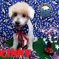 Poodle (Miniature) Mix Dog for adoption in Arcadia, Florida - Ginny