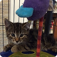 Adopt A Pet :: 9 week kitten tiger tabby male - Manasquan, NJ