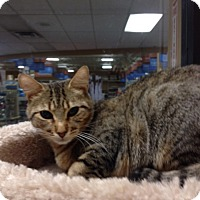 Domestic Shorthair Cat for adoption in San Leandro, California - Marcie