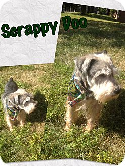 Miniature Schnauzer Mix Dog for adoption in Millersville, Maryland - Scrappy Doo