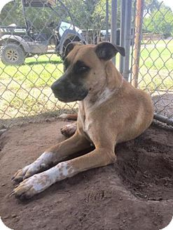 Anatolian Shepherd Dog for adoption in Quinlan, Texas - Scooter
