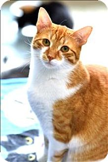 Domestic Shorthair Cat for adoption in Madison, New Jersey - Sammy