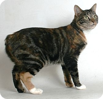 Manx Cat for adoption in Redding, California - Omaha