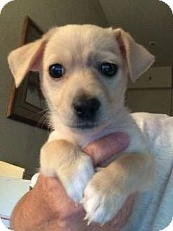 Maltese/Dachshund Mix Puppy for adoption in Cave Creek, Arizona - Marcus