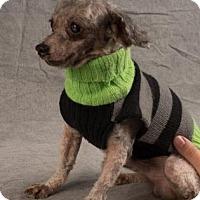Toy Poodle Dog for adoption in Colorado Springs, Colorado - Mac