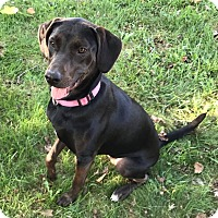 Labrador Retriever Mix Dog for adoption in New Oxford, Pennsylvania - Zadie