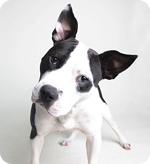 Pit Bull Terrier Mix Dog for adoption in Wilmington, Delaware - Bliss