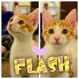 Domestic Shorthair Kitten for adoption in Beaumont, Texas - Flash