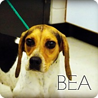 Adopt A Pet :: Bea - Defiance, OH