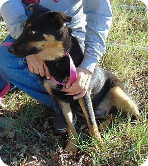 German Shepherd Dog/Labrador Retriever Mix Puppy for adoption in Chicopee, Massachusetts - Ajax