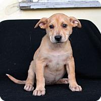 Adopt A Pet :: Orange Crush - Los Angeles, CA