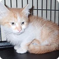 Domestic Shorthair Kitten for adoption in North Wilkesboro, North Carolina - Neptune