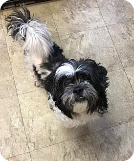 Shih Tzu Mix Dog for adoption in Chicago, Illinois - Mickey
