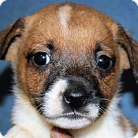 Adopt A Pet :: Kallie - Colonial Heights, VA