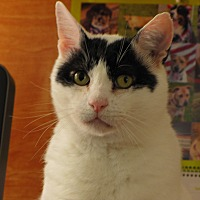 Domestic Shorthair Cat for adoption in Lafayette, New Jersey - Moe