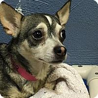 Adopt A Pet :: Ziva - St Louis, MO