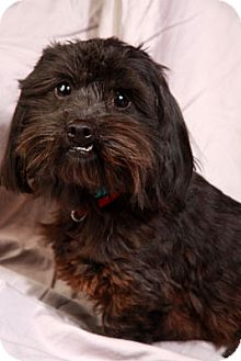 Shih Tzu/Dachshund Mix Dog for adoption in St. Louis, Missouri - Kappy Dash Tzu