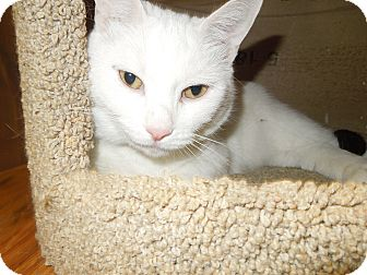 Domestic Shorthair Cat for adoption in Medina, Ohio - Snowman