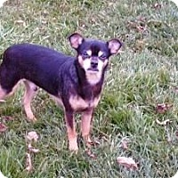 Miniature Pinscher Mix Dog for adoption in Homer, New York - Wild Willie