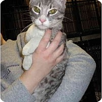Domestic Shorthair Cat for adoption in Baton Rouge, Louisiana - Ripley