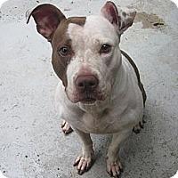Adopt A Pet :: Pandora - Southbury, CT