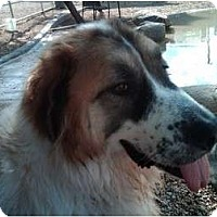 Adopt A Pet :: Dakota - Glendale, AZ