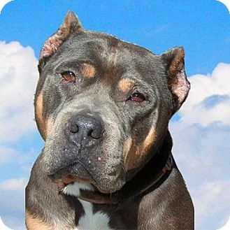 American Staffordshire Terrier/American Pit Bull Terrier Mix Dog for adoption in Holmes Beach, Florida - Angel