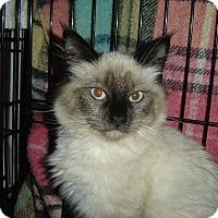 Adopt A Pet :: Amigo - Mundelein, IL