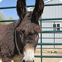 Adopt A Pet :: Abe - Bennett, CO