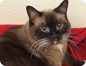 Siamese Cat for adoption in LaJolla, California - Daisy