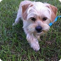 Adopt A Pet :: John Cena - Gainesville, FL