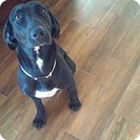 Adopt A Pet :: Harper - El Paso, TX