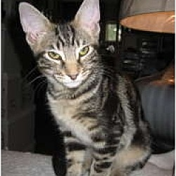 Photo 2 - Domestic Shorthair Cat for adoption in Long Beach, California - Dylan