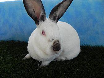 Californian for adoption in Pflugerville, Texas - Biggie Smalls