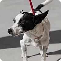 Adopt A Pet :: Peppi - Las Vegas, NV