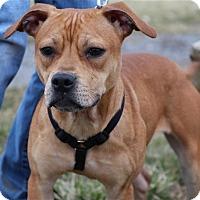 Adopt A Pet :: Irish-Prison Dog - Elyria, OH