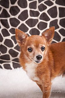 Chihuahua Dog for adoption in Elizabethtown, Pennsylvania - Buddy