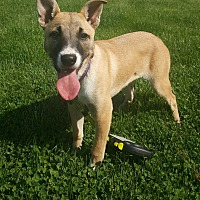Shepherd (Unknown Type) Mix Puppy for adoption in Oakland, Michigan - Mercedes
