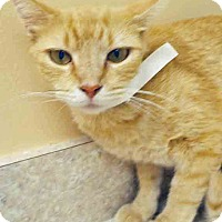 Domestic Shorthair Cat for adoption in Hinsdale, Illinois - Daffodil