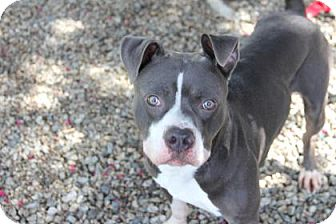 Pit Bull Terrier Mix Dog for adoption in Greensboro, North Carolina - Gomer