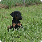 Adopt A Pet :: Harley D