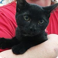 Domestic Shorthair Kitten for adoption in Riverside, California - Bagheera