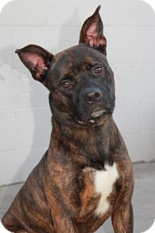 Boxer Dog for adoption in Fremont, California - Blake (CP)