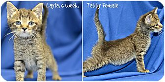 Domestic Shorthair Kitten for adoption in Siler City, North Carolina - Layla and Lola